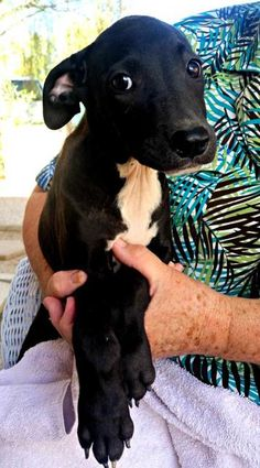 Check out Charlotte's profile on AllPaws.com and help her get adopted! Charlotte is an adorable Dog that needs a new home. https://www.allpaws.com/adopt-a-dog/labrador-retriever-mix-border-collie/5298211?social_ref=pinterest