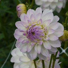 Creamy white blooms with a faint edging of lilac on the tips leading into the centre. Specialty cut flower seeds, roots and grown in Canada tubers for flower farmers and gardeners alike. Types Of Flowers, Cut Flowers, Lilac, Lavender, Flower Farmer, Flower Seeds, Plant Decor, Harvest, Roots
