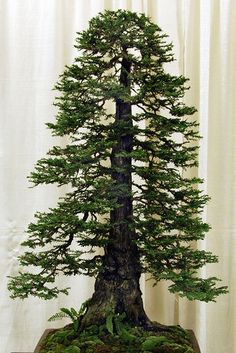 Bonsai Redwood, gorgeous. This is so contrary to nature it is not even funny.