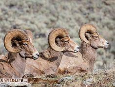 Just Chilling.  Big Horn Sheep. This beauty was in Lamar Valley in Yellowstone National Park.  #Winter #Yellowstone  #Ram #Bighorn #Wildlife #Nature #sheep #animals #animal #animallovers #animalsofinstagram #animalprint #animalkingdom #canon #canonusa #canon #instagram #instagood #instalove #instasnow #fullcurl #fullcurlfriday #splendid_shotz #splendid_earth