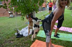 Goat Yoga Goat Yoga, Goat Farming, Goats, Fashion, Moda, Fasion, Goat, Trendy Fashion, La Mode
