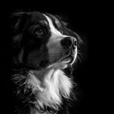 Cute Cats And Dogs, I Love Dogs, White Border Collie, Border Collies, Pet Dogs, Sheep Dogs, Doggies, Spotted Dog, Loyal Dogs