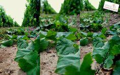 Petits pois, grains de plomb et effeuillage à Chantegrive !  Blog - château de Chantegrive