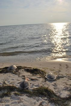 Three rescued, rehabilitated and released sea turtles head off into the sunset. Among them is a loggerhead sea turtle named Juggernaut. #wildlife