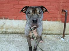 URGENT - Brooklyn Center    SQUIKERZ - A0992970   MALE, GRAY / WHITE, PIT BULL MIX, 3 yrs  STRAY - EVALUATE, NO HOLD Reason STRAY   Intake condition ILLNESS Intake Date 03/02/2014, From NY 11226, DueOut Date 03/05/2014 https://www.facebook.com/photo.php?fbid=766677946678420&set=a.617941078218775.1073741869.152876678058553&type=3&theater