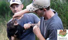 Tasmanian devil at Devil Ark - check out those teeth!
