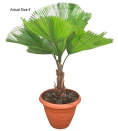 Ruffled Fan Palm Tree - If you would like more information about the beautiful Ruffled Fan Palm, also known botanically as Licuala Grandis, give RealPalmTrees a call at 877-RPT-AGRO (778-2476) and take a virtual tour of the nursery at www.realpalmtrees.... Great for birthdays, anniversaries, offices, apartments, interior and exterior landscaping and so much more! Buy Indoor Plants, Indoor Palms, Indoor Trees, Patio Plants, Bonsai Plants, Palm Tree Fruit, Palm Tree Flowers, Small Palm Trees, Small Palms