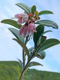 Vaccinium vitis-idaea in full bloom. Puolukka kukkii.