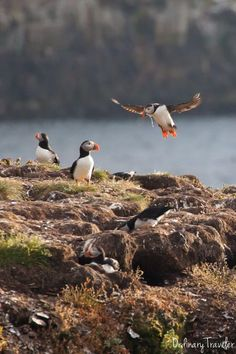 Seeing puffins in Elliston, Canada is unlike anything I've ever experienced. I highly recommend taking a trip here when visiting Newfoundland! Newfoundland Canada, Newfoundland And Labrador, Alberta Canada, Ottawa, Quebec, Ontario, Atlantic Canada, Canada Travel, Canada Trip