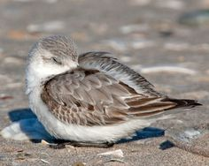Sanderlings at Riis Park, Queens NY