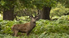 Forest Animals Wild Stag Deer uhd wallpapers - Ultra High ...
