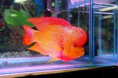 Orange Flowerhorn fish! Very affectionate to its owners and will let you touch it!! I want one soooo bad!!!