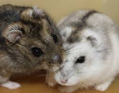 These two gorgeous little animals are Chinchillas and they're so soft and cuddly that you'll want one if you hold one for too long...