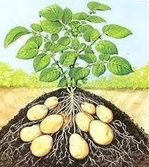 Goede combi met de #aardappel: afrikaantjes (tegen aardappelaaltjes), mierikswortel, hennep (tegen phytophtera), erwten/bonen, zonnebloemen.