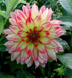 Beautiful....I'm going to plant some   dahlias this spring, hope I can find this one.