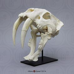Fossil Mammals Skulls – Bone Clones, Inc. Tiger Skull, Skull Art, Cat Skull, Leg Bones, Skull And Bones, Animal Skeletons, Animal Skulls, Bigfoot Photos, Crane