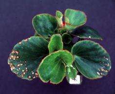 Potash deficiency in begonia.