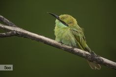 I'm Growing Feathers: I'm Juvenile Bee-eater by Riaz J. Siddiki on 500px