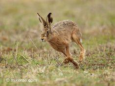Brown hare running turn, early morning, March Suffolk Lepus europeanus Animals Of The World, Animals And Pets, Baby Animals, Cute Animals, British Wildlife, Wildlife Art, South Africa Wildlife, Rabbit Sculpture, Rabbit Art