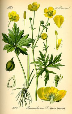 Ranunculus acris - Wikipedia