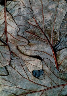 winter swamp leaves micro photo by Mike Moats Patterns In Nature, Textures Patterns, Deco Noel Nature, Photo Macro, Fotografia Macro, Natural Forms, Natural Texture, Leaf Texture, Macro Photography
