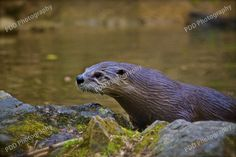 Otter exiting water.  Nature Photography. Buxton, Derbyshire.