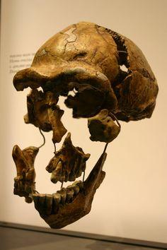 1024px-Peking_Man_Skull_Fragments_3.jpg (1024×1536) - Homo erectus, National Museum of Natural History, USA. Auteur : Ryan Somma, 1980.
