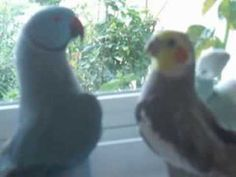 """Marnie, my sister's blue Indian Ringneck parrot talks to a cockatiel. """"Hello"""", then """"You're so, you're so cute!"""" several times. Later he demands """"Give me a kiss"""" and he leans in for a kiss, makes kiss sounds and then """"Wheeee!"""".  http://www.marnietalk.com   Check out more of my sister's bird videos  at her channel: chesawoo . Marnie's own offic..."""