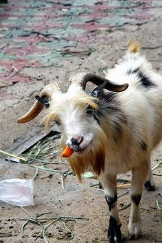 Carrots are good for goats  but keep all plastic bags away  #goatvet