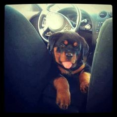 Sweet #Rottweiler puppy