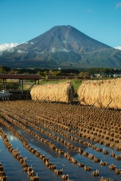 Mt. FUji reflected in a rice field after harvest.