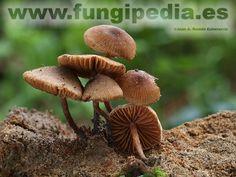Cortinarius tubarius es un hongo del orden Cortinariales también conocido como Alnicola sphagneti, .. ver más información.