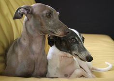 Törpe fajtájú kutyák:Olasz agár Olasz agár  - a legkisebb agár a világon