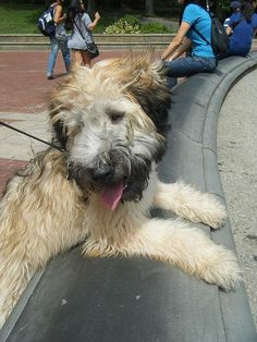 My sweet baby....Soft Coat Wheaten Terrier