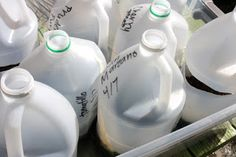 Empty Milk Jugs Miniature Greenhouses!  I am totally trying this!