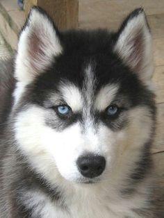 Such a cute husky puppy - want to have one *.* Sehr süßer Husky-Welpe - hätte auch gern einen! *.*