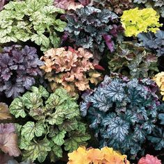 """Newest Hybrids Heuchera Mix - So easy to grow and so beautiful, they'll be a mainstay in your *shady* areas! Heuchera, also known as Coral Bells make a great ground cover, with their attractive foliage that forms tidy mounds in a variety of colors. Clouds of tiny bell-shaped flowers sparkle above the foliage in midsummer. Grows 12-18"""" tall, 18-24"""" wide. Ships in a 3"""" pot. Zones 4-9 Heuchera hybrida. 5 for $30. Not a native, but suited to our climate and might work in our shady backyard."""