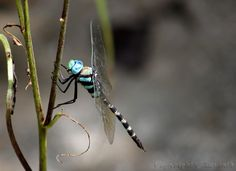 By Susanth C  Blue Darner - Anax immaculifrons male    I saw a male Blue Darner was patrolling over a small puddle of water during my Ponmudi(Trivandum,Kerala) Kallar trip during 8th October 2011.This guy was flew over the waterbody for a long time.I was eagerly waiting for take a good picture of this guy.At last this beautiful dragonfly perching near the water body for a while and i got an opportunity to take some good shots.