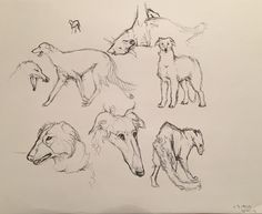 ❤ =^..^= ❤   Borzoi Daily ~ 16shards-art:      Small Borzoi study. These dogs are so coooool! ;a;      All are drawn from reference (except that little doodle, obviously). Didn't finish that yawning guy though. ^^' I was doing this in study hall at school, and ran out of time!      I hope the app works this time, don't want to have to reblog this! ;w;