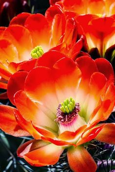 Photographer martin dimitrievski art watercolor flowers cactus flowers steve williams for a couple of days each year the little hedgehog cactus blooms with extraordinary flowers mightylinksfo