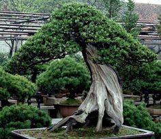 400 to 800 years old tree in Happo-en Garden in Tokyo.