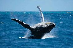Les baleines à bosse peuvent atteindre 16 mètres de long et vivre jusqu'à 60 ans, même si leur espérance de vie n'est pas connue avec précision