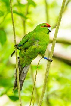 Kakariki (Red-crowned Parakeet) by Janice McKenna