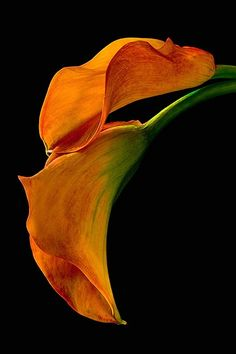 calla lily, orange, macro, flower - ID: 1964735 © Amalia Elena Veralli Exotic Flowers, Orange Flowers, Amazing Flowers, My Flower, Flower Art, Beautiful Flowers, Spring Flowers, Floral Photography, Macro Flower Photography