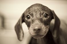 Mini doxie in the bath