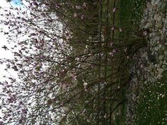 Magnolia tree in my backyard