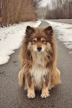 fakenasty: is this a malamute? Someone tell me what kinda dog this is This could be the Finnish lapphund in my opinion :O Correct me if I'm wrong!