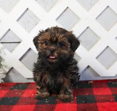 Lancaster Puppies makes it easy to find healthy puppies from reputable dog breeders across Pennsylvania, Ohio, and more. Shorkie Puppies, Lancaster Puppies, Most Popular Dog Breeds, Puppies For Sale, Animals, Doggies, Animales, Animaux, Animal