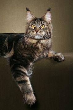 Красивый кот. Порода мейн-кун. Фото