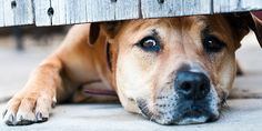 Separation anxiety is a condition caused by a dog's fear of being alone. Very sadly it is the second leading cause of owners relinquishing dogs to dog pounds or euthanizing their dogs. While the behaviors …